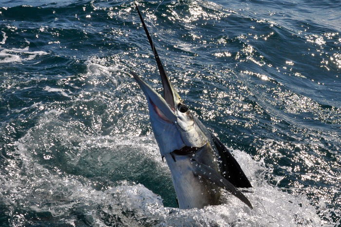 Saltwater fishing charters for sailfish near orlando for Saltwater fishing orlando