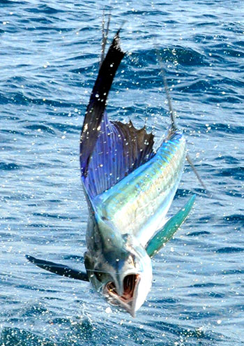 Acrobatic sailfish hooked on the line.