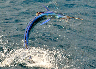 Sailfish jumping in the water.